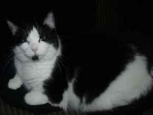 "Adult Female Cat - Domestic Short Hair-black and white: ""Clara"""