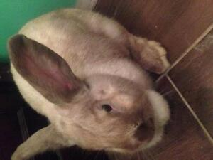 "Adult Female Rabbit - American: ""Rumsey"""