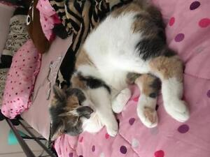 "Adult Female Cat - Dilute Calico: ""Daisy"""