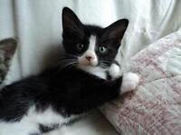 "Baby Male Cat - Domestic Short Hair-black and white: ""Piper"""