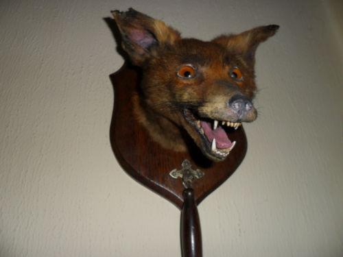Mounted Fox Head Taxidermy Ebay