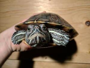 """Young Female Scales, Fins & Other - Turtle: """"Val"""""""
