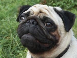Male pug Wanted Gulgong Mudgee Area Preview