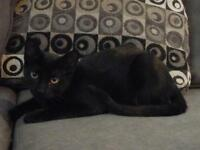 """Young Male Cat - Domestic Short Hair: """"Blaze"""""""