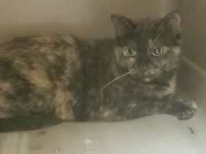 "Adult Female Cat - Tortoiseshell-Domestic Short Hair: ""Terri"""