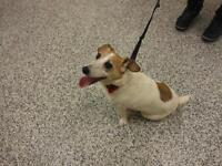 """Adult Female Dog - Jack Russell Terrier: """"Chelsey"""""""