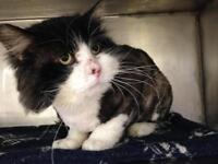 """Adult Male Cat - Domestic Long Hair: """"Curtis"""""""