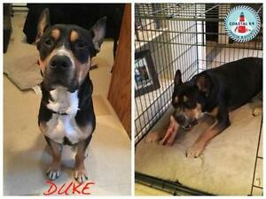"Adult Male Dog - Shepherd-Mastiff: ""Duke"""