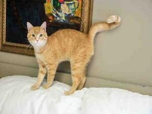 """Young Male Cat - Domestic Short Hair: """"TYRONE"""""""