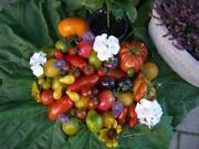 Tomaten Alte Sorten