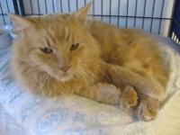 "Adult Male Cat - Domestic Long Hair - orange: ""Samson"""