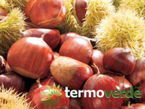 Pianta di castagne Albero castagno Marrone