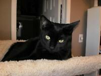 "Adult Female Cat - Domestic Short Hair-black: ""Cherry"""