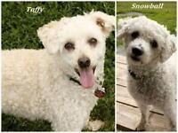 """Adult Male Dog - Poodle: """"Taffy and Snowball"""""""