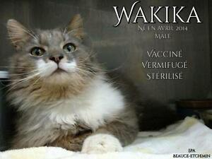 """Adult Male Cat - Domestic Long Hair - gray and white: """"Wakika"""""""