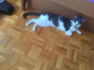 """Adult Female Cat - Domestic Short Hair (Gray & White): """"Lucie"""""""