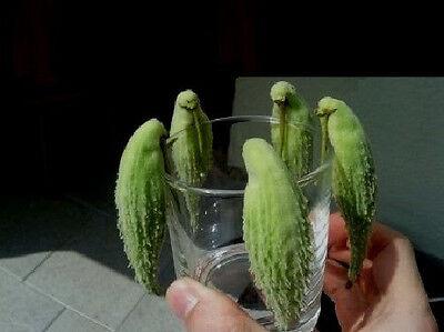 grüner Papageienbaum Asclepias syriaca  ❉ auch super als Zimmerpflanze ❉ Samen ❉