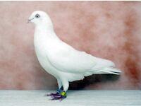 H.F. Pigeons