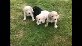 F1 Miniature Labradoodle Puppies
