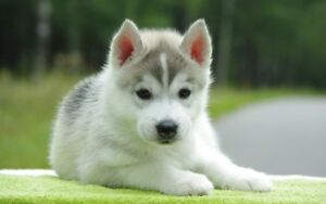 Looking for a pomsky puppy