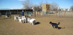 Looking for Herding Training for a Mixed-Breed Dog