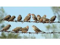 Zebra finches and cage availble