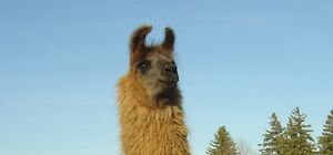Top Quality Registered Llamas - $800 each - 2 Females + 1 Male