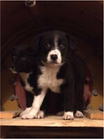 Border Collie Puppies For Sale!!
