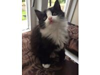 Urgent mainecoon cross kittens for sale