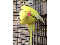 Indian ringneck pure lutino