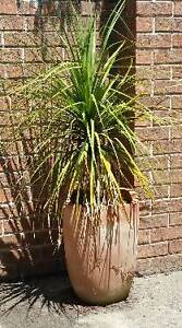 PONYTAIL PLANT IN TERACOTTA POT. East Kurrajong Hawkesbury Area Preview