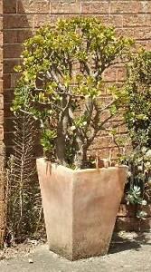 JADE PLANT IN TALL TERRACOTTA POT East Kurrajong Hawkesbury Area Preview