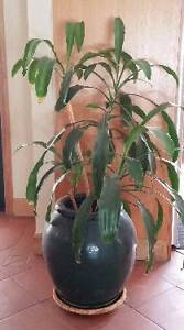 CORN PLANT IN GLAZED POT East Kurrajong Hawkesbury Area Preview