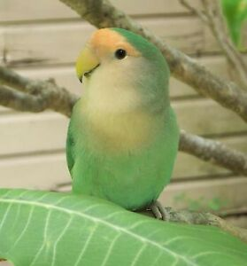 Looking for a female lovebird