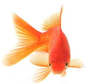 Gold fish Amaroo Gungahlin Area Preview