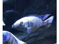 African Cichlid- FOSSOCHROMIS ROSTRATUS