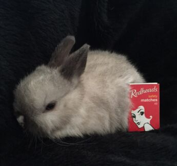 """Pure.Miniature Netherland Dwarf Bunny.""""Blue""""in colour,Blue Eyes"""