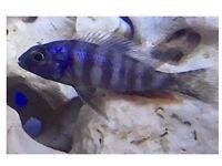 "Taiwan Reef Cichlid's   Steveni Taiwan   Protomelas Steveni   2-2.5""   African Malawi Cichlid's  "