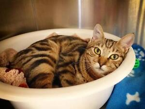 """Young Male Cat - Tabby: """"Seashell 1"""""""