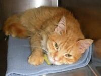 """Young Male Cat - Domestic Long Hair: """"Mikie 15 (PN 80)"""""""