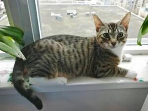 "Young Female Cat - Domestic Short Hair-Tabby (Brown): ""Bebe"""