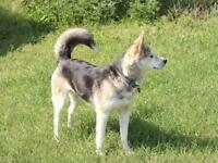 "Young Female Dog - Husky: ""Scrat"""
