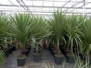 Torbay Palm