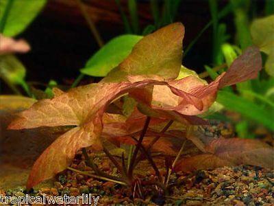 Nymphaea Stellata Bulb - Dwarf Red Water Lily Live Aquarium Plants BUY2GET1FREE*