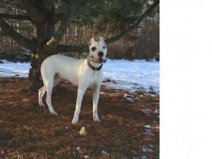 "Young Female Dog - Dogo Argentino: ""Rhea"""