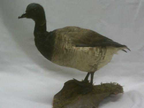 Goose Taxidermy Ebay
