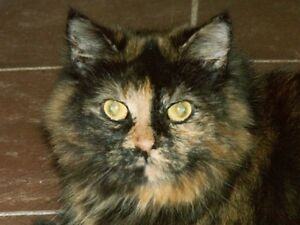 "Adult Female Cat - Domestic Medium Hair-Tortoiseshell: ""Ava"""