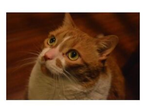 Clem - Lost Male Cat - Orange Tabby with White Shorthair