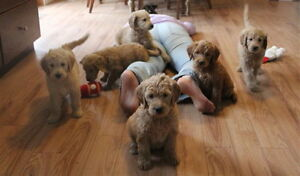 Adorable Standard Goldendoodle Puppies