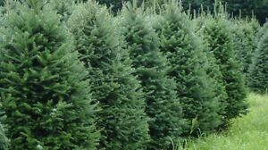 LOOKING TO BUY Balsam Brush and Christmas Trees